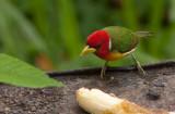 Cabézon à tête rouge - Eubucco bourcierii - Red-headed Barbet