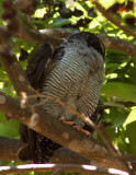 Chouette à lignes noires - Ciccaba nigrolineata - Black-and-white Owl