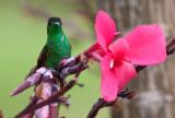 Colibri à épaulettes - Eupherusa eximia - Stripe-tailed Hummingbird