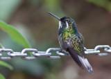 Colibri à ventre châtain - Lampornis castaneoventris - White-throated Mountain-gem42.jpg