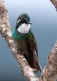 Colibri à ventre châtain - Lampornis castaneoventris - White-throated Mountain-gem