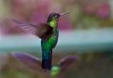Colibri insigne - Panterpe insignis - Fiery-throated Hummingbird