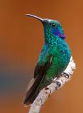 Colibri thalassin - Colibri thalassinus - Green Violet-ear
