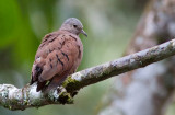 Colombe rousse - Columbina talpacoti - Ruddy Ground-Dove