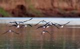 Échasse d'Amérique - Himantopus mexicanus - Black-necked Stilt