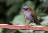 Grive à bec noir - Catharus gracilirostris - Black-billed Nightingale-Thrush