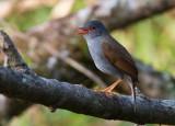 Grive à bec orange - Catharus aurantiirostris - Orange-billed Nightingale-Thrush