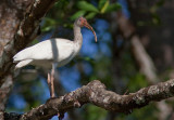 Ibis blanc - Eudocimus albus - White Ibis