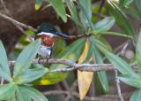 Martin-pêcheur d'Amazonie - Chloroceryle amazona - Amazon Kingfisher