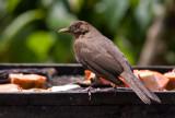 Merle fauve - Turdus grayi - Clay-colored Thrush