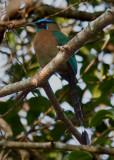 Motmot houtouc - Momotus momota - Blue-crowned Motmot