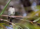 Moucherolle à tête noire - Empidonax atriceps - Black-capped Flycatcher