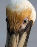 Pélican brun - Pelecanus occidentalis - Brown Pelican