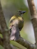 Saltator des grands-bois - Saltator maximus - Buff-throated Saltator
