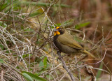 Sporophile grand-chanteur - Tiaris olivacea - Yellow-faced Grassquit