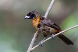 Tangara de Cherrie - Ramphocelus costaricensis - Cherrie's Tanager