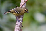 Viréo à ailes jaunes - Vireo carmioli - Yellow-winged Vireo