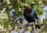 Vacher à tête brune / Molothrus ater / Brown-headed Cowbird
