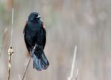 Carouge à épaulettes / Agelaius phoeniceus / Red-winged Blackbird