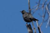 Quiscale rouilleux / Euphagus carolinus / Rusty Blackbird