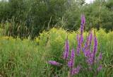 Salicaire pourpre / Lythrum salicaria / Purple loosestrife