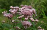 Eupatoire maculée / Eutrochium maculatum / Spotted Joe Pye weed