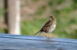 Bruant des prés / Passerculus sandwichensis / Savannah Sparrow