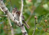 Bruant chanteur / Melospiza melodia / Song Sparrow
