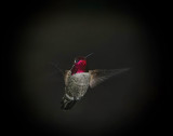 More Hummingbirds