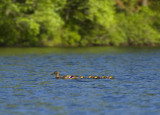 ducks in a row 789