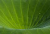 basic green 420