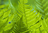 dancing ferns 010