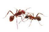 Formica (Wood ants)