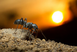 Dinoponera (dinosaur ants)