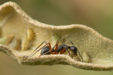 Camponotus rufipes tending planthoppers