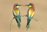 Bee-eaters are courting - שרקרקים בחיזור