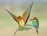 Bee Eater - שרקרק מצוי
