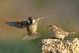 דרור ספרדי  Spanish Sparrow