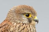 Falcon -  בז