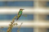 Urban bee-eater