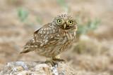 little_owl - כוס החורבות