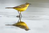 נחליאלי צהוב  Yellow Wagtail