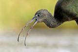מגלן חום  Glossy Ibis