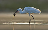 לבנית קטנה   Little Egret
