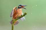kingfishers  שלדג גמדי