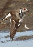 three_banded_plover