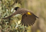 african_red_eyed_bulbul_
