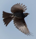 fork_tailed_drongo