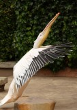 great_white_pelican