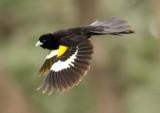 White winged Widowbird
